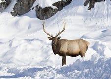 Alci che stanno nella neve Fotografia Stock