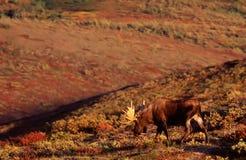 Alci del Bull Fotografia Stock