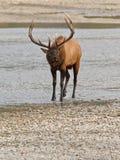 Alci del Bull, canadensis del cervus Fotografia Stock