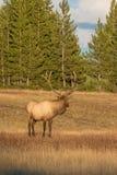 Alci del Bull che osservano via Fotografia Stock Libera da Diritti