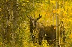Alci del Bull che si alimentano nel legno Immagini Stock