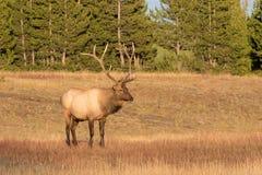 Alci del Bull che si levano in piedi nel prato Fotografie Stock