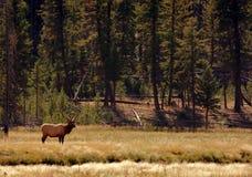 Alci del Bull che si levano in piedi nell'ambiente Fotografia Stock Libera da Diritti