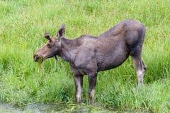 Alci del torello che mangiano erba da una corrente - alce di Shiras di Th Fotografia Stock