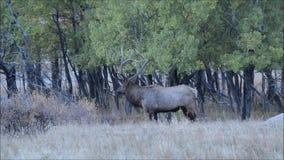 Alci del toro che bugling durante la carreggiata di caduta in Rocky Mountains stock footage