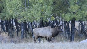 Alci del toro che camminano attraverso il boschetto della tremula durante la stagione di accoppiamento video d archivio