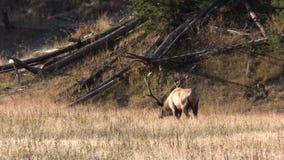Alci del toro che pascono nel prato video d archivio