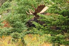 Alci del toro che stanno nel campo con gli alberi Immagine Stock