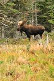 Alci del toro che stanno nel campo con gli alberi Fotografie Stock Libere da Diritti