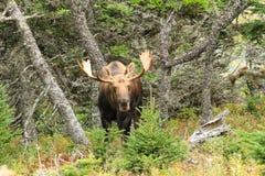 Alci del toro che stanno nel campo con gli alberi Fotografia Stock Libera da Diritti