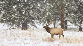 Alci del toro che stanno in una bufera di neve Fotografia Stock