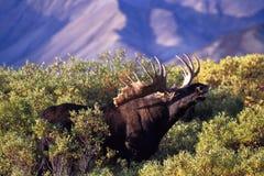 Alci del toro con i corni enormi che fiutano l'aria alla luce di mattina ( Fotografie Stock Libere da Diritti