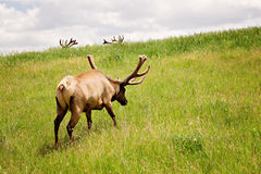Alci del toro contro la collina verde ed i corni Fotografia Stock