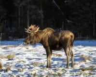 Alci del toro di caduta nell'Alaska del sud Fotografia Stock Libera da Diritti