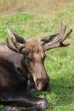 Alci del toro nel centro di conservazione della fauna selvatica dell'Alaska Fotografie Stock Libere da Diritti