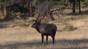 Alci del toro in prato nella carreggiata stock footage