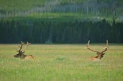 Alci del Yellowstone Immagini Stock Libere da Diritti