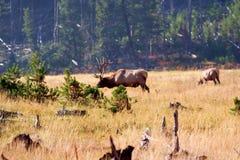 Alci del Yellowstone Fotografia Stock Libera da Diritti