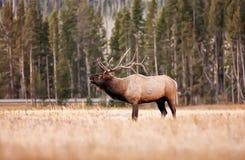 Alci del Yellowstone Bull Immagine Stock Libera da Diritti