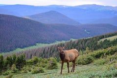 Alci della mucca che pascono sopra il Poudre River Valley in Rocky Mountain National Park Fotografia Stock