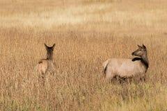 Alci della mucca in erba alta Fotografia Stock