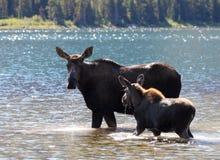 Alci e vitello alla sosta nazionale del ghiacciaio Fotografia Stock
