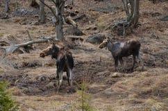 Alci e vitello della mucca nel parco del Algonquin immagine stock libera da diritti