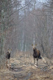 Alci e vitello delle alci Fotografia Stock