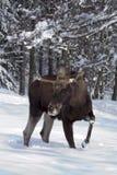 Alci europee (alci) nella neve Fotografia Stock Libera da Diritti