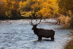 Alci in fregola del toro in fiume Immagini Stock Libere da Diritti