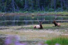 Alci, Jasper National Park Fotografia Stock Libera da Diritti