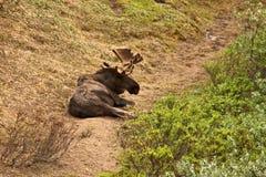 Alci messe del toro Fotografia Stock Libera da Diritti