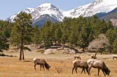 Alci in montagne del Colorado Fotografia Stock Libera da Diritti