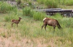 Alci nel parco nazionale di Yellowstone Immagini Stock