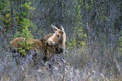 Alci nell'Alaska Fotografie Stock Libere da Diritti