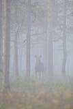 Alci nella foresta nebbiosa Immagine Stock Libera da Diritti
