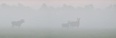 Alci nella nebbia Immagine Stock