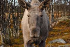 Alci norvegesi Fotografie Stock
