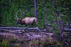 Alci reali del toro, parco nazionale di Yellowstone, Montana Immagine Stock