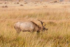 Alci Rutting del Bull Fotografie Stock