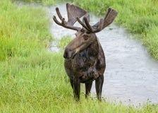 Alci sbavare del toro in Colorado del Nord Immagine Stock Libera da Diritti