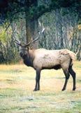 Alci scan01 del Bull Fotografia Stock