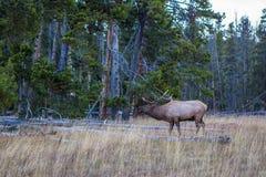 Alci selvaggi del toro nel parco nazionale di Yellowstone fotografia stock