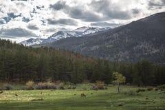 Alci selvaggi in un campo in Colorado Immagini Stock Libere da Diritti