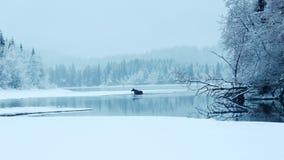 Alci sul lago Immagini Stock
