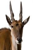 alcina羚羊背景eland查出的白色 免版税库存图片