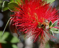 Alcohol 33 de la abeja y de la flor Imágenes de archivo libres de regalías