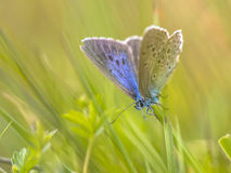 Alcon blue butterfly Stock Photography