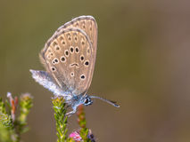 Alcon large blue butterfly Royalty Free Stock Image