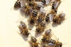 Alcune api gruppo-stanno lavorando fotografia stock